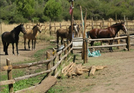 Horses in our parcela in Chile